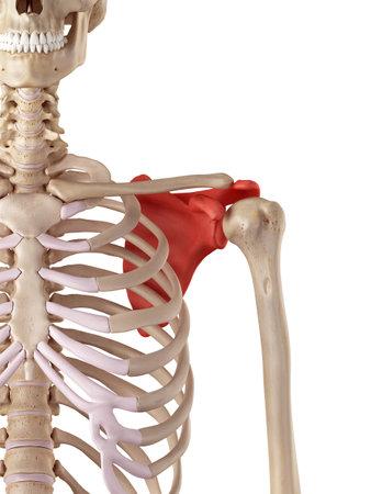 medische nauwkeurige illustratie van het schouderblad Stockfoto