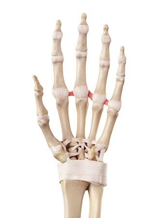 medical accurate illustration of the deep transverse metacarpal ligament meta
