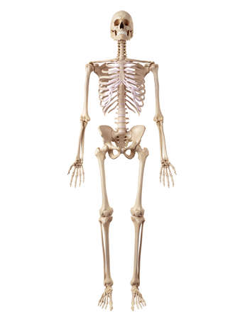 medical accurate illustration of the human skeleton 写真素材