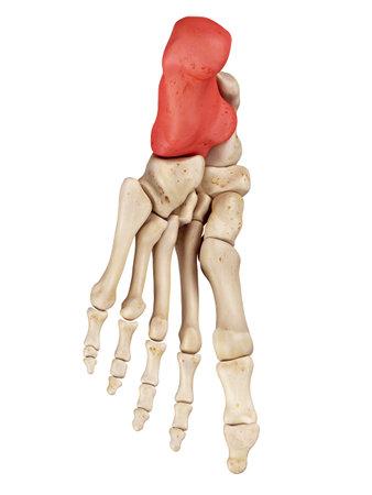 medical accurate illustration of the calcaneus