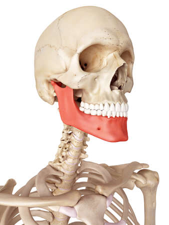 medical accurate illustration of the jaw bone