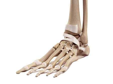 足の靭帯の医療の正確なイラスト