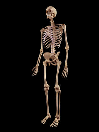 medical accurate illustration of the human skeleton 版權商用圖片