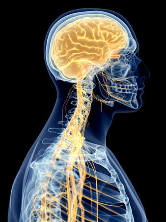 medically accurate illustration of the cervical nerves Stock Photo