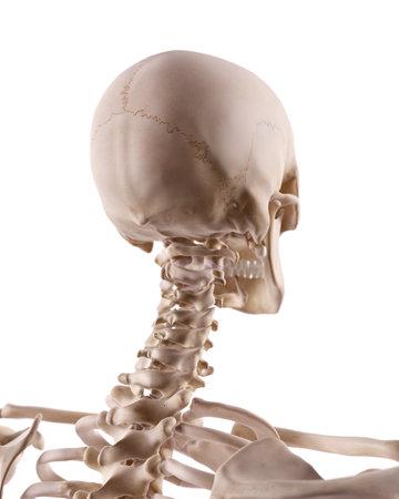 ilustración médicamente correcta de la columna cervical y el cráneo