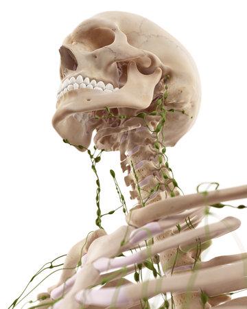 頸部リンパ節の医学的に正確な図