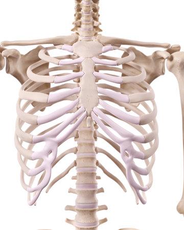 Medizinisch genaue Darstellung des Skelett Thorax Standard-Bild - 42587886