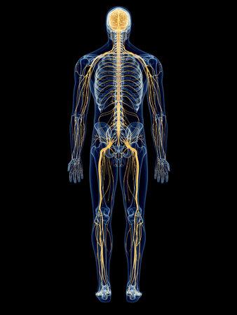 신경계의 의학적으로 정확한 그림 스톡 콘텐츠