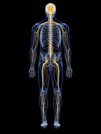 medically accurate illustration of the nervous system Фото со стока - 42587988