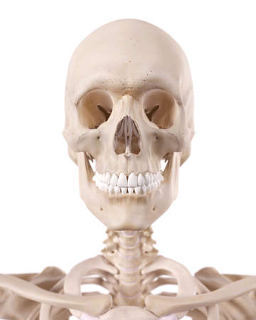 medically accurate illustration of the cervical spine and skull Stock Photo
