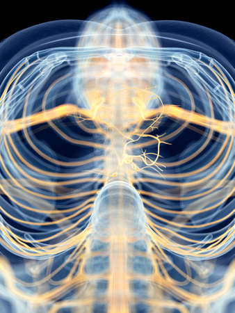 medically accurate illustration of the vagus nerve Stock Photo