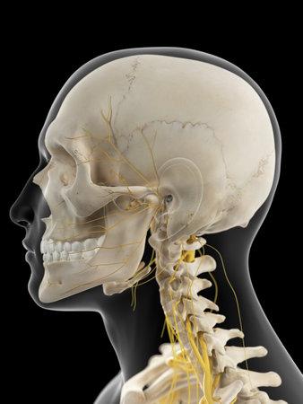 ilustración médica precisa de los nervios cervicales