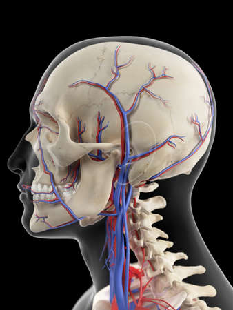 medically accurate illustration of the veins and arteries of the head