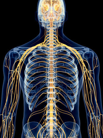 medically accurate illustration of the intercostal nerves