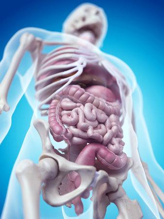 Verdauungs-und Kreislaufsystem Des Männlichen Körper Kunstwerk ...