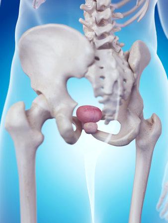 medically accurate illustration of the prostate anatomy Zdjęcie Seryjne