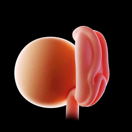 Médicale illustration précise d'une semaine d'embryon 4 Banque d'images - 42856414