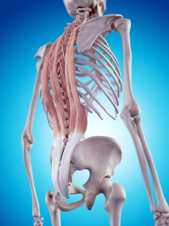 medically accurate illustration of the back muscles Stock Photo