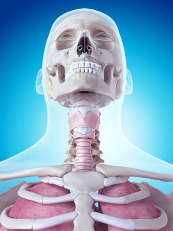 medically accurate illustration of the larynx anatomy