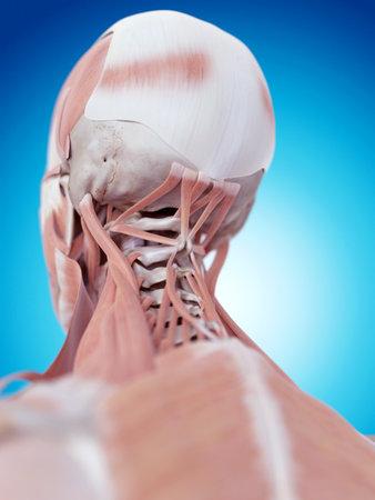 首の筋肉の医学的に正確な図 写真素材