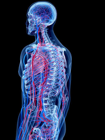 The Human Vascular System - Stock Photo, Picture And Royalty Free ...
