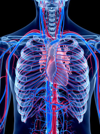 人間の血管系 - 中心部
