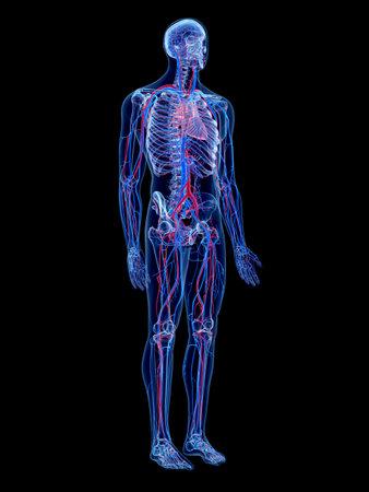 the human vascular system