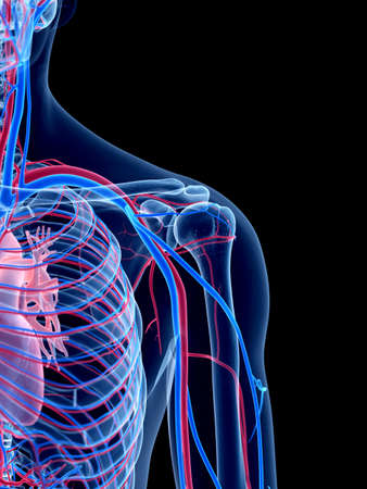 the human vascular system - the shoulder Stock Photo