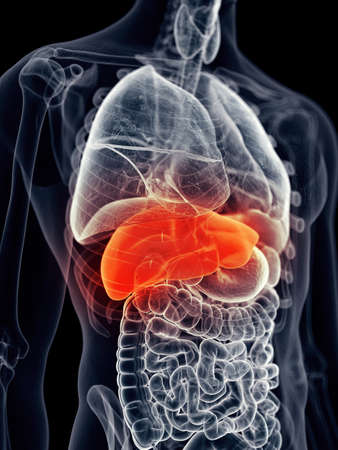 medically accurate illustration - painful liver 写真素材