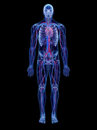 人間の血管系