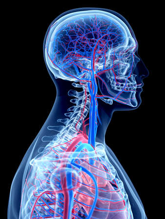 the human vascular system - the neck Stock Photo