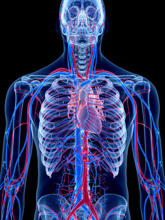 the human vascular system - the heart