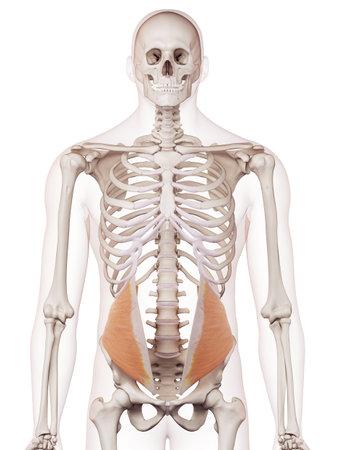 内部斜めの医学的に正確な筋肉図