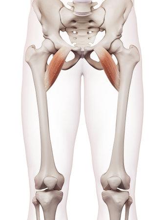 Medizinisch genaue Muskel Darstellung der pectineus Standard-Bild - 43307646