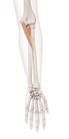 pronator teres의 의학적으로 정확한 근육 그림 스톡 콘텐츠