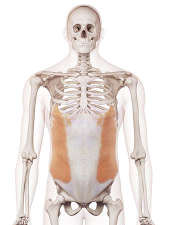 外腹斜筋を医学的に正確なイラスト