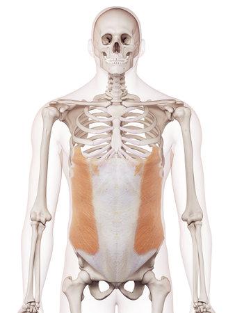medisch accurate spier illustratie van de externe schuine Stockfoto