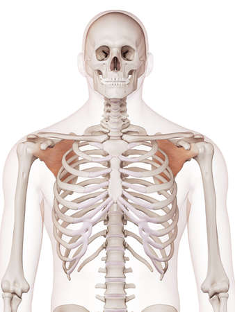 medically accurate muscle illustration of the subscapularis Stock Photo