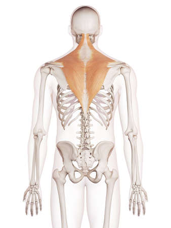 medically accurate muscle illustration of the trapezius Stock Photo