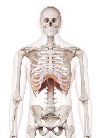 medically accurate muscle illustration of the diaphragm