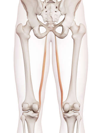 medically accurate muscle illustration of the gracilis Stock Photo