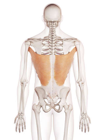 medically accurate muscle illustration of the latissimus dorsi Stock Photo