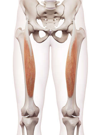 medically accurate muscle illustration of the rectus femoris