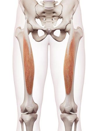 medisch nauwkeurige spier illustratie van de rectus femoris