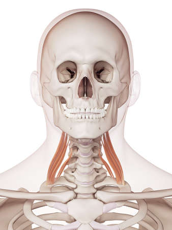 medically accurate muscle illustration of the middle scalene