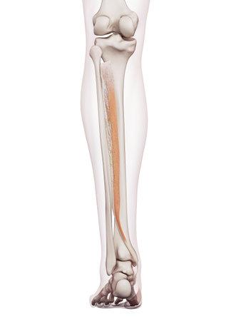 의학적으로 정확한 근육 그림 tibialis posterior 스톡 콘텐츠