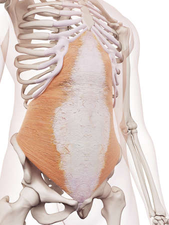 medically accurate muscle illustration of the transversus abdominis 版權商用圖片