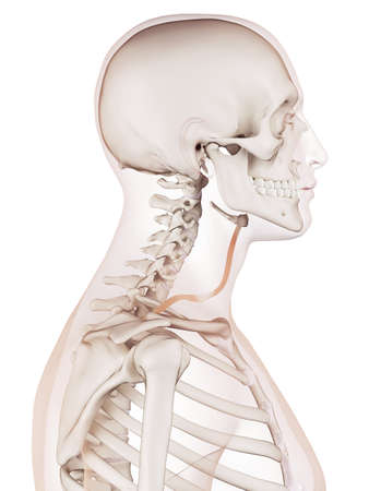 medically accurate muscle illustration of the omohyoid Stock Photo