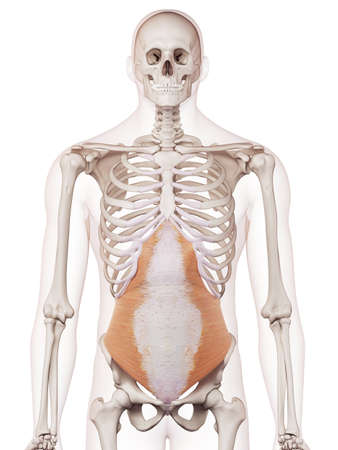 Medizinisch genaue Muskel Darstellung des Transversus abdominis Standard-Bild - 43308192