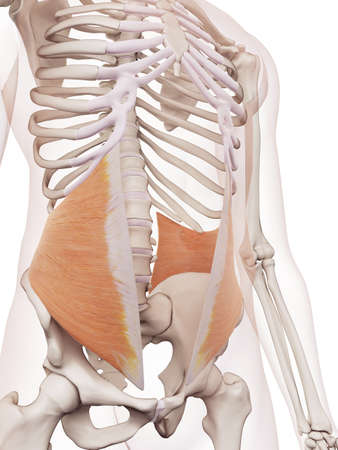 medically accurate muscle illustration of the internal oblique